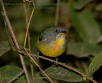 Crimson-breasted Flowerpecker (subadult male)