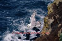 FT0188-00: Northern Fulmar in flight. North Atlantic