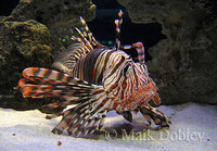 : Pterois volitans; Red Lionfish