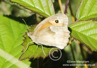 : Coenonympha pamphilus; Small Heath Butterfly