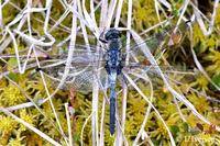 : Leucorrhinia albifrons; Eastern White-faced Darter