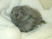A Stella Lory chick at four weeks of age.