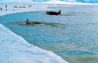 Orcas hunting at the ice edge (Photo: J. MacDonald)