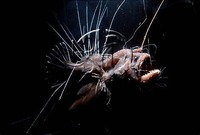 Deep Sea Hairy Angler Fish Caulophryne jordani