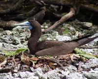 Sula leucogaster - Brown Booby