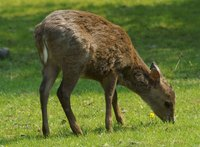 Axis porcinus - Hog Deer