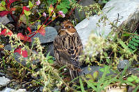 Image of: Emberiza pusilla (little bunting)