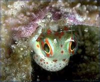Image of: Blenniidae (blennies, combtooth blennies, and scaleless blennies)