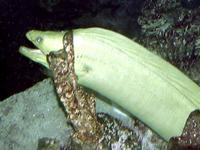 Image of: Gymnothorax funebris (green moray)