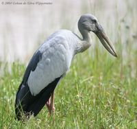 Asian Openbill - Anastomus oscitans