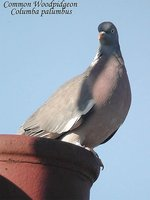 Common Wood-Pigeon - Columba palumbus