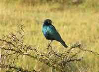 Lesser blue-earned glossy starling (Lamprotornis chloropterus) sits on thorn bush