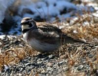 Horned Lark March 06