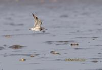 Great knot C20D 03047.jpg