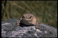 : Phrynosoma douglassii; Short-horned Lizard