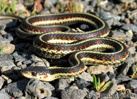 : Thamnophis sirtalis fitchi; Valley Gartersnake