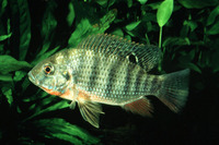 Tilapia rendalli, Redbreast tilapia: fisheries, aquaculture, gamefish, aquarium