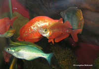 Glossolepis incisus, Red rainbowfish: aquarium