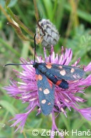 Zygaena ephialtes - Variable Burnet