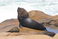 Image of: Otaria flavescens (South American sealion)