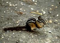 Image of: Tamias amoenus (yellow-pine chipmunk)