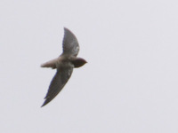 Short-tailed Swift (Chaetura brachyura) photo