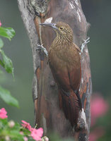 Strong-billed Woodcreeper (Xiphocolaptes promeropirhynchus) photo