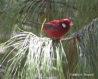 Red Warbler - Ergaticus ruber