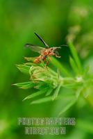 ...Common red soldier beetle ( Rhagonycha fulva ) at point of flight from Catchweed ( 07 5586 ) sto