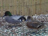 PAIR OF FALCATED TEAL