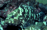 : Epinephelus fuscogutattus; Brown-marbled Grouper