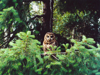 : Strix occidentalis caurina; Northern Spotted Owl