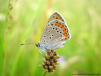 Lycaena alciphron - Purple-shot Copper