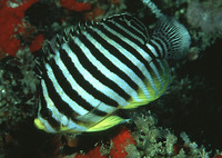 Centropyge multifasciata, Barred angelfish: aquarium