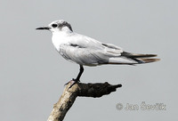 Sterna nilotica - Gull-billed Tern