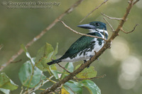 Chloroceryle amazona - Amazon Kingfisher