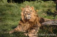 Panthera leo goojratensis - Indian Lion