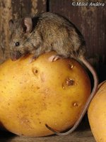 Mus domesticus - Western House Mouse