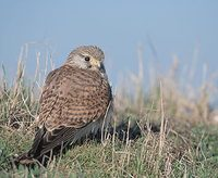 Eurasian Kestrel (Falco tinnunculus) photo