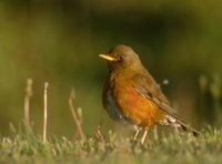 Brown(-headed) Thrush (Turdus chrysolaus) photo