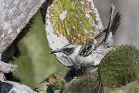 Galapagos Mockingbird (Nesomimus parvulus) photo