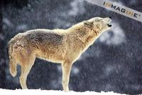 Gray or Timber Wolf (Canis lupus) photo