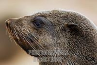 ...Cape fur seal (Arcocephalus pusillus pusillus) side view portrait . Southern Africa . Cape Cross