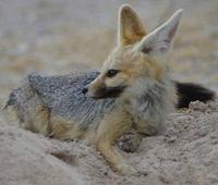 Photo of a Cape Fox