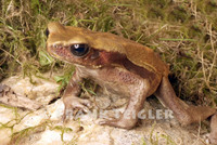 : Bufo guttatus; Smooth Sided Toad