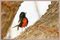: Myioborus pictus; Painted Redstart