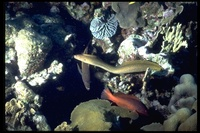 : Gymnothorax miliaris; Goldentail Moray Eel