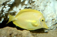: Zebrasoma flavescens; Yellow Tang