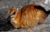 : Tragulus napu; Larger Malay Chevrotain (mouse Deer)