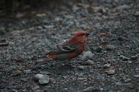 Pine Grosbeak, Kenai Peninsula. Photo by Joe Faulkner. All rights reserved.